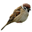 sparrow.png
